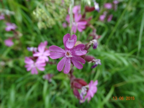 Red campion (I think)