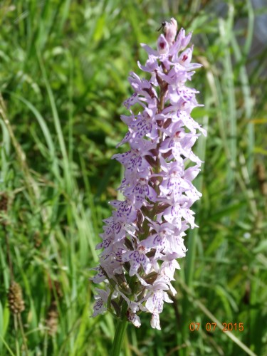 I think could be a common spotted orchid