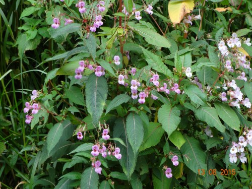 Himalayan balsam which lined much of this route. Very pretty, but can be invasive