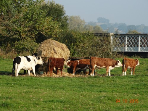 Cows having breakfast