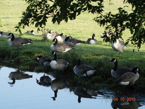 A gaggle of Canada geese. Not seen many of these since leaving the T&M