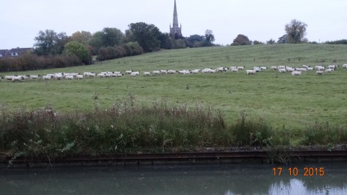 A line of sheep