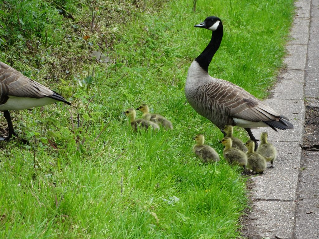 Negotiating a goose family on the towpath
