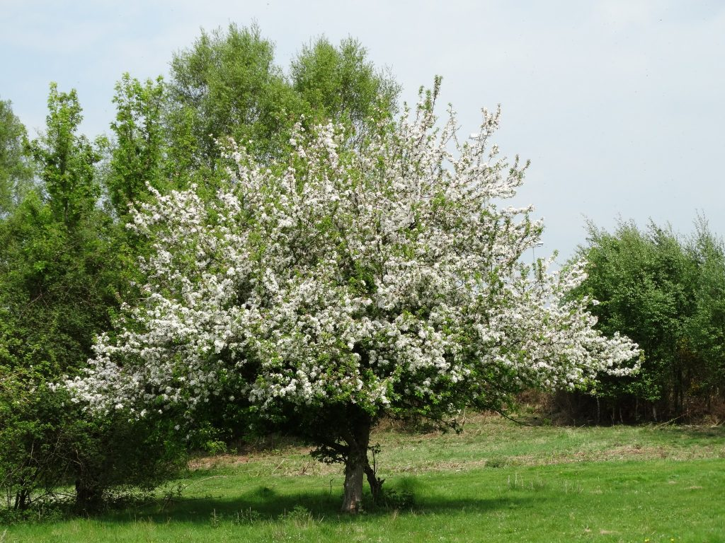 Tree in magnificent blossom