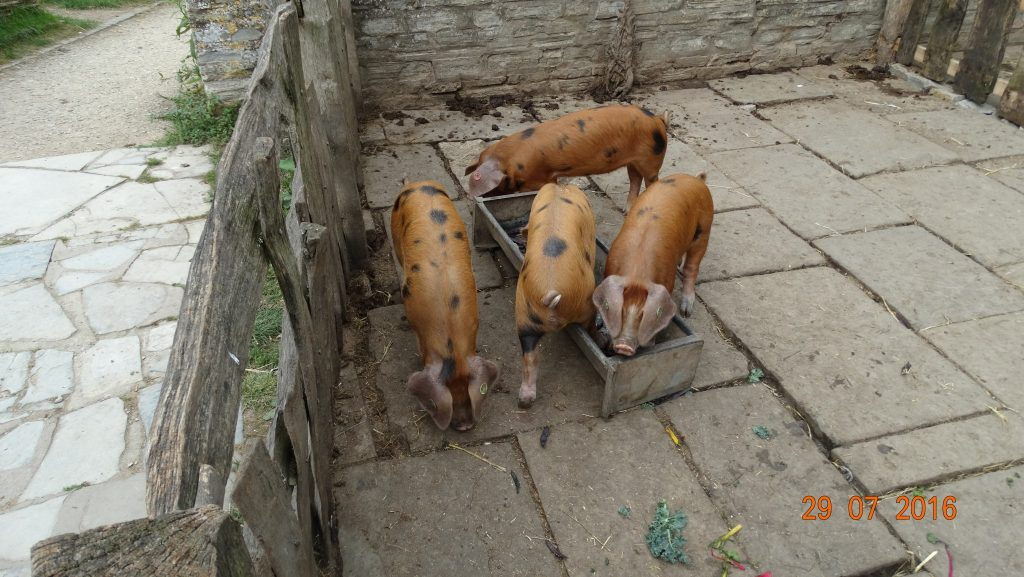 second farm visit; hungry piggies