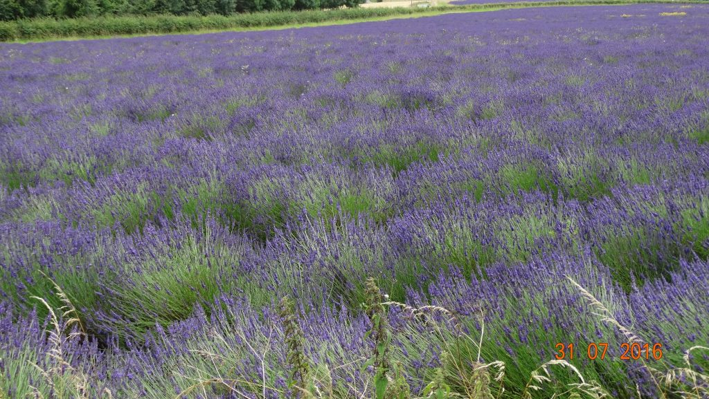 one of the many lavender fields